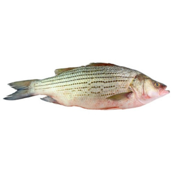 Fresh Whole Striped Bass