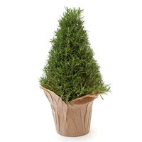 Pinery One Gallon Rosemary Plant