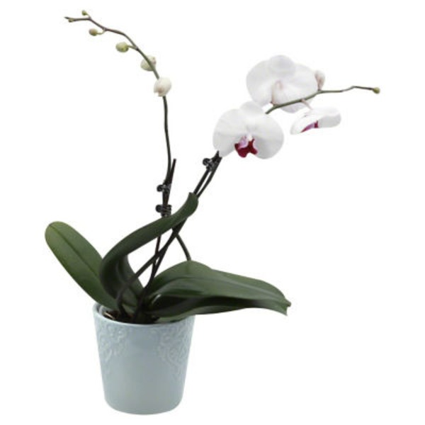 H-E-B Blooms 5 Inch Flowering Orchid Plant