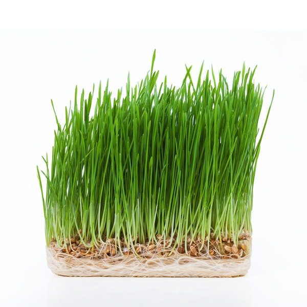New World Wheatgrass