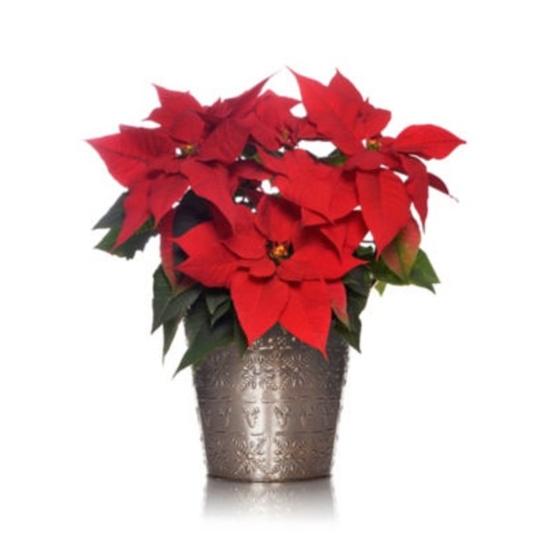 Growers Select 6 Inch Red Poinsettia