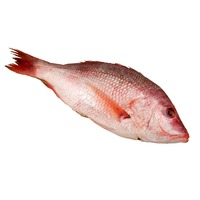 Wild Fresh Whole American Red Snapper