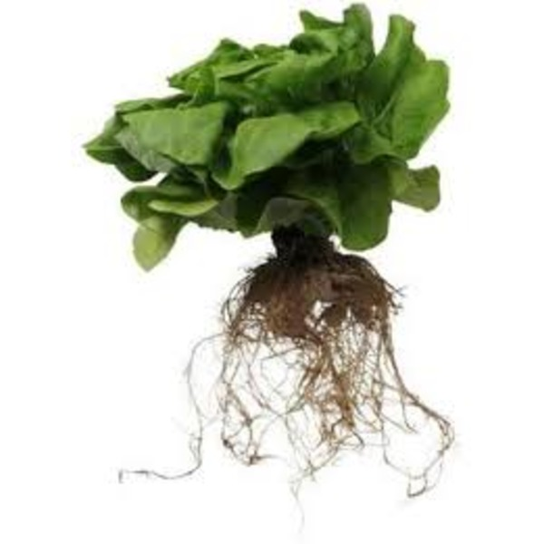 Kroger Private Selection Living Lettuce 1 Head