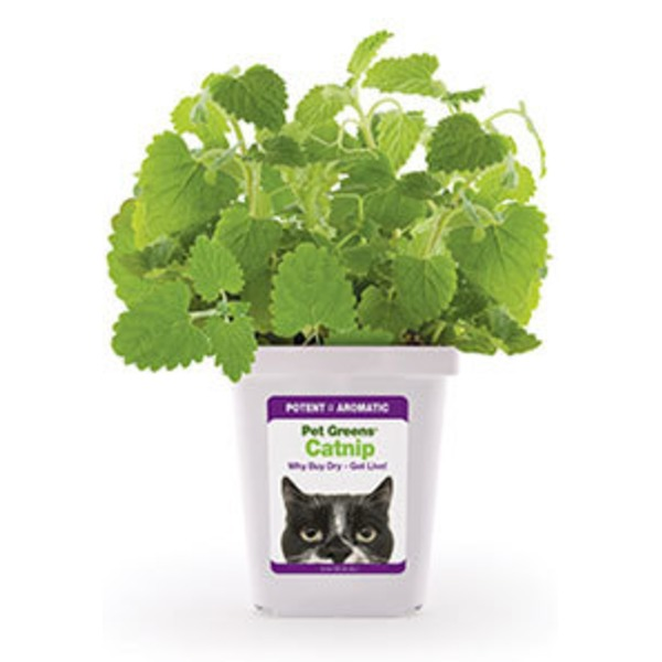 Bell Rock Growers Pet Greens Live Catnip