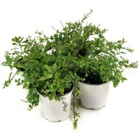 4pc Mixmaster 'Shooting Comet' - National Plant Network