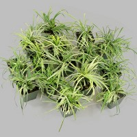 15pc Variegated Liriope - National Plant Network