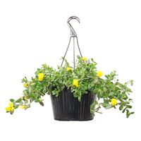 "Texas Backyard 10"" Assorted Colors Purslane Hanging Basket"