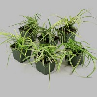 6pc Variegated Liriope - National Plant Network