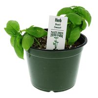 South Texas Herbs Fresh Sweet Basil Plant
