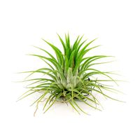 Large Loose Air Plant