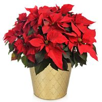 """Growers Select 10"""" Red Poinsettia in Tin"""